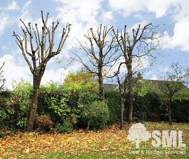 SML Tree & Hedge Servives provide: Tree Pruning, Crown Thinning, Crown Lifting, Crown Reduction, Pollarding services